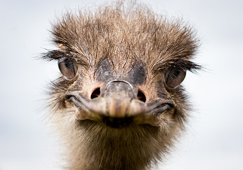 cute birds animals eyes eyelashes sweden ostriches beaks östergötland swe jönåker