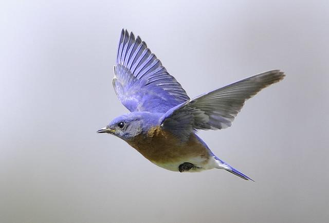 Eastern bluebird in flight - photo#3