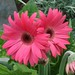 Gerbera jamesonii 1