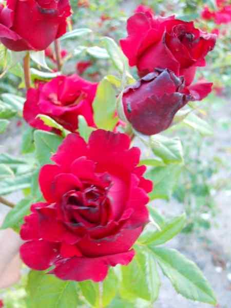 Rosa grandiflora 'Perla Negra' v 1
