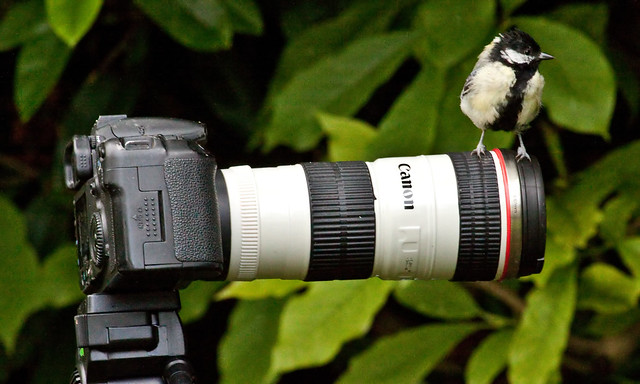 ZOOMING IN ON A GREAT TIT