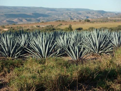 Maguey tequilero; camino entre Jalpa, Zacatecas y Calvillo, Aguascalientes, Mexico