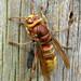 Vespa crabro (European Hornet)