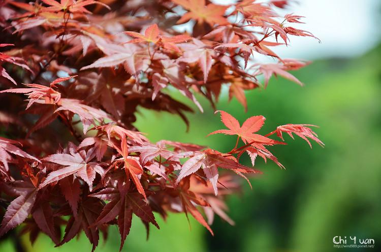 竹子湖紅楓19.jpg