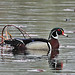 Wood Duck - Springtime Drake