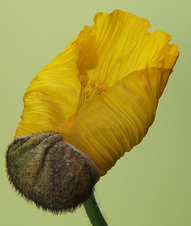 Yellow poppy opening up