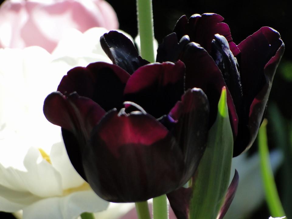 77-21apr12_3861_Botanical_garden_tulip