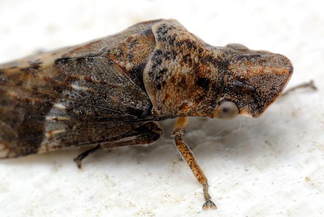 Petalocephala discolor