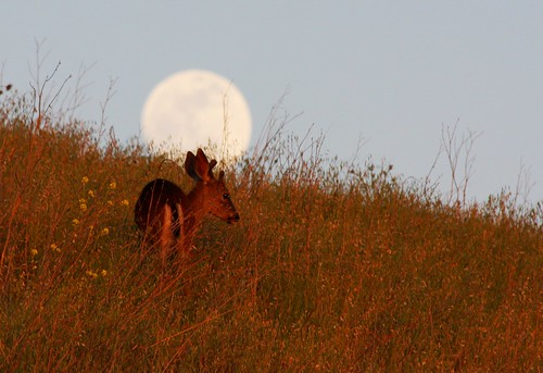 california ca moon nature san jose full fullmoon deer grazing