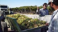 Viñateros crean sistema para alivianar y agilizar la cosecha