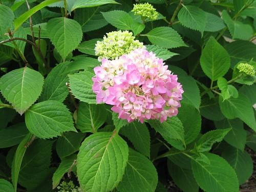 pink endless summer hydrangea