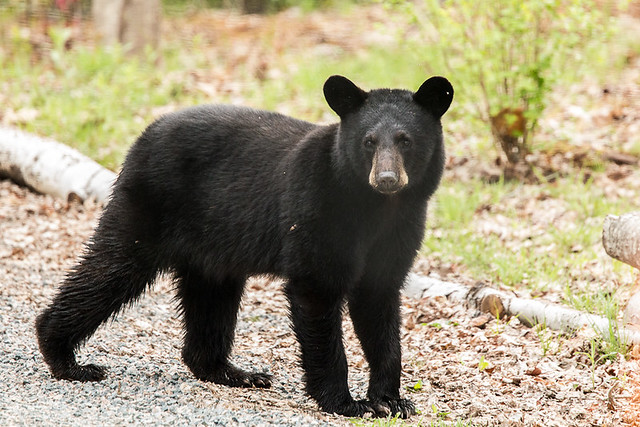 IMGL7525 Young Black Bear in my Yard   Flickr - Photo Sharing!