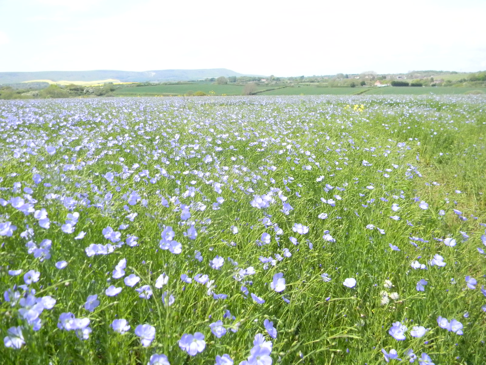 Flax field Berwick to Birling Gap