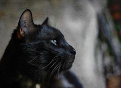 Berlioz le chat qui chante