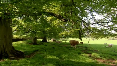 Highland Cows on Countryfile
