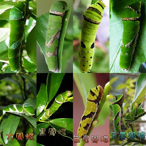 圖3:柑橘類植物上常見鳳蝶的幼蟲比較。由左至右分別為大鳳蝶、黑鳳蝶、無尾鳳蝶、玉帶鳳蝶。圖片提供:李鍾旻