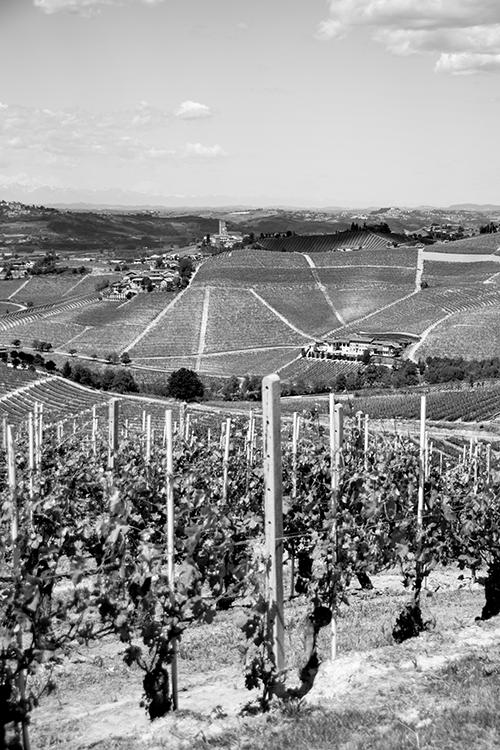 Amongst the Vines in Barbaresco