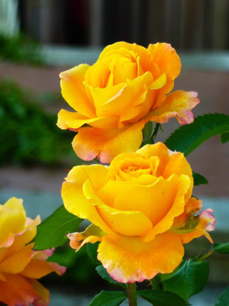 Rosas Amarillas El Lenguaje De Las Flores A Veces Llamada Flickr