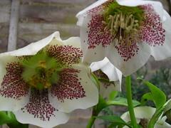 flower, plant, macro photography, hellebore, flora, close-up, petal,