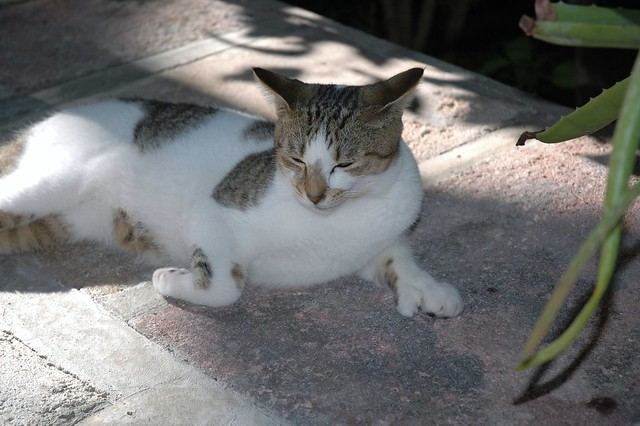 Hemingway cat, Key West