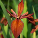 Copper Iris - Photo (c) Bob Gutowski, some rights reserved (CC BY-NC-SA)