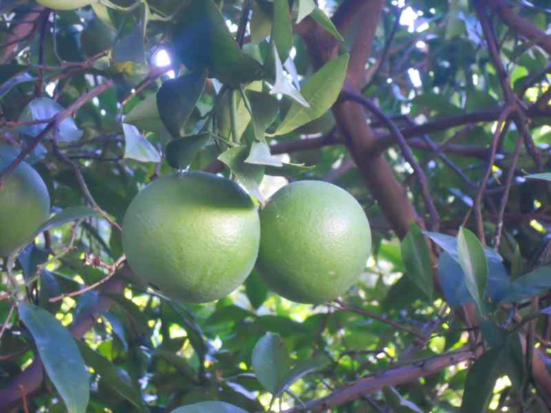 Citrus sinensis 'Lane Late' 2