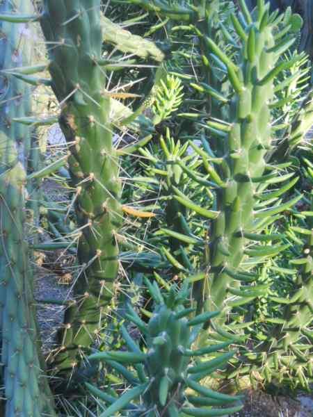 Opuntia subulata v 1