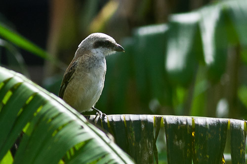 long-tailed shrike - immature
