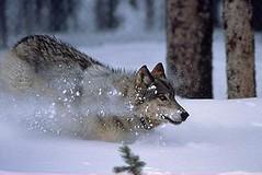 黃石公園的灰狼(黃石公園管理處提供)