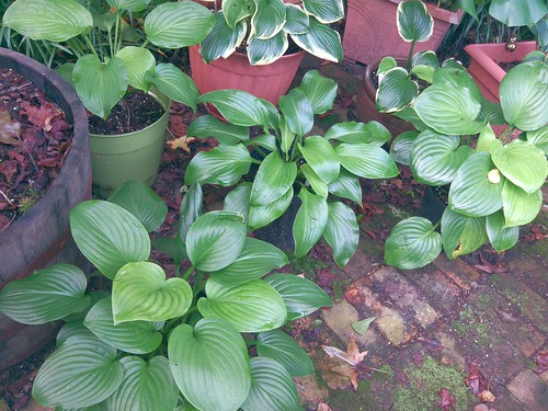 Some plantaginea hosta, in shades of green