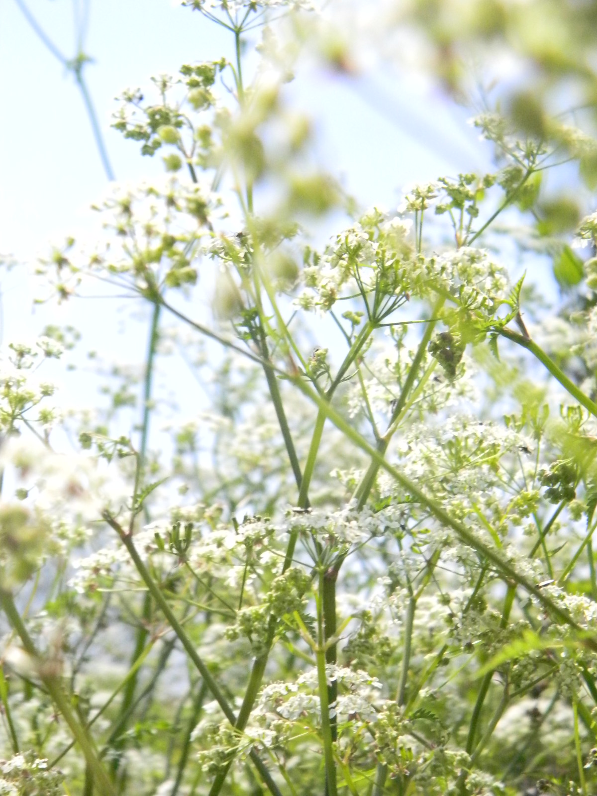 Cow parsley Berwick to Birling Gap