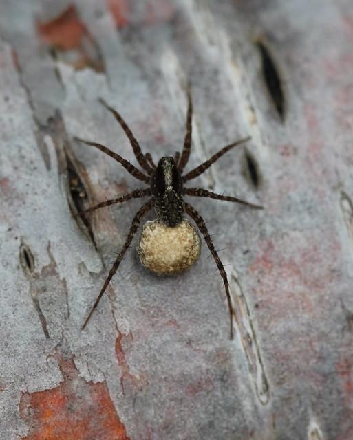 Spider and egg sack flickr photo sharing for Garden spider egg sac