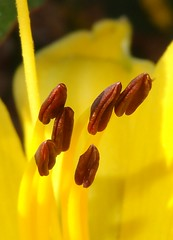 Yellow day lily, with anthers