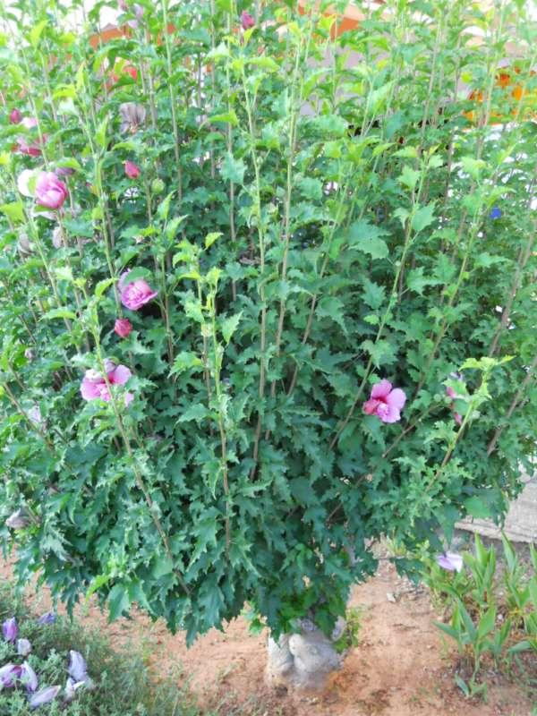 Hibiscus syriacus v 4