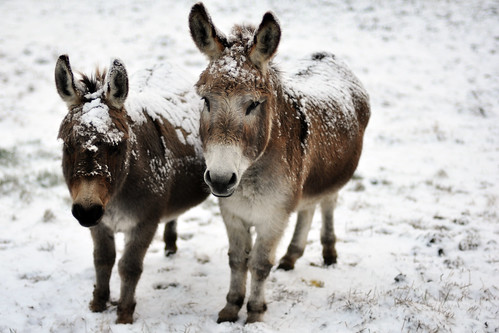 240/365 Snow covered donkeys for the Watts girls :)