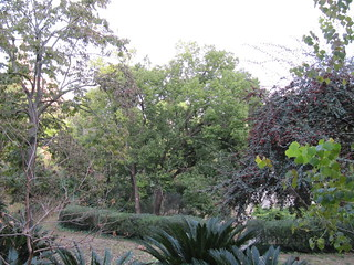 Camphor tree (Cinnamomum)