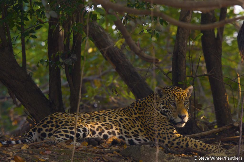 Jaguar resting in the shade