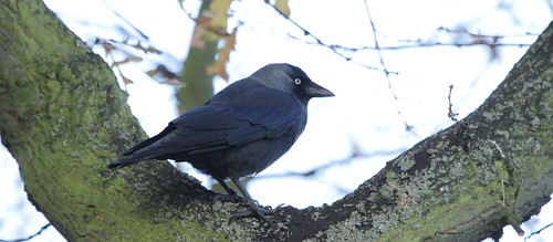 Jackdaw in tree