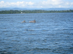 playing dolphins, Bocas del Toro