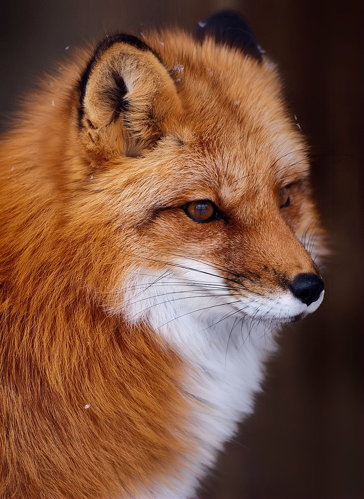 Red Fox (Echo Museum)