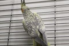 animal, wing, pet, fauna, finch, cockatiel, bird,