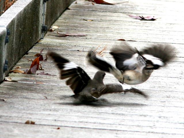 Mockingbird standoff 3-20101230