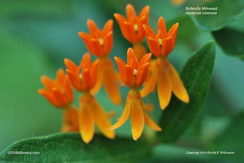 Butterfly Milkweed, Butterfly Weed, Pleurisy Root, Orange Milkweed - Asclepias tuberosa