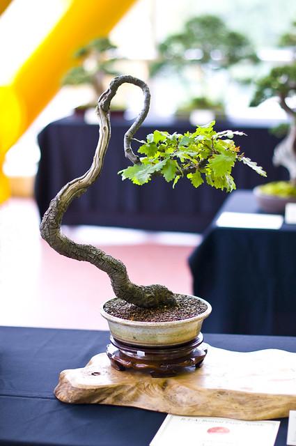 Oak bonsai tree quercus robur at don valley bonsai for Literati bonsai gallery