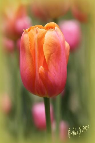 ny flower canon bokeh tulip 7d albany upstatenewyork washingtonpark naturesfinest supershot capitaldistrict 100mmmacrof28lisusm