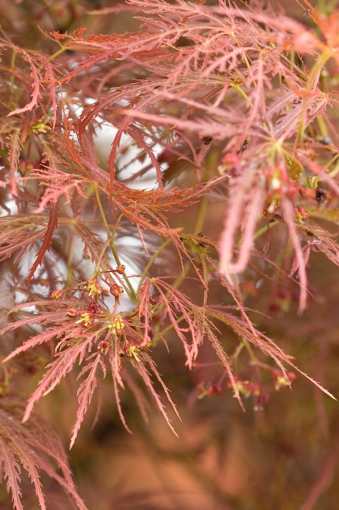 Acer Palmatum Raf Var Dissectum Thunb Miq Tamukeyam Flickr