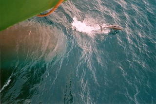Wulstbug Delfin