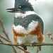 Belted Kingfisher by orencobirder