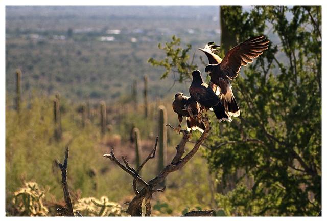 Bird Stack Harriss Hawk Www Picsbud Com