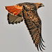 Red-tailed Hawk by Shadow Hunter